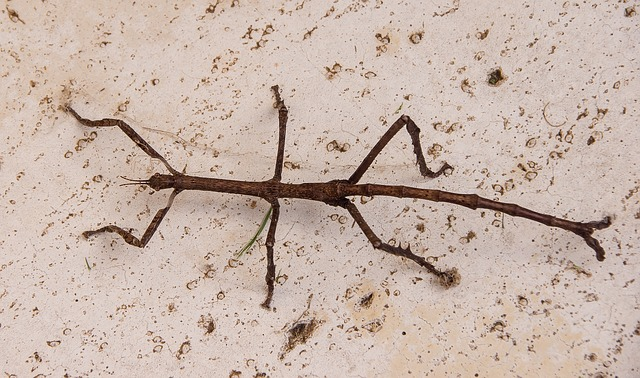 titan-stick-insect-1316006_640